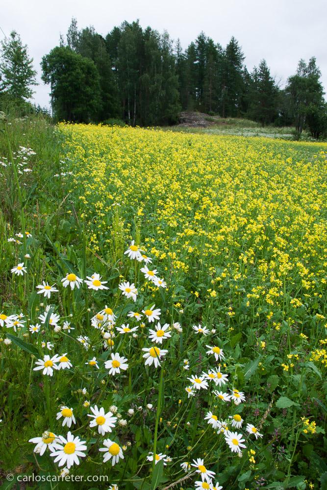 Lamentablemente carezco de fotografías de la tundra siberiana o de los Montes Urales,... lo más cerca... los bosques y prados finlandeses; estos cerca de Tampere.