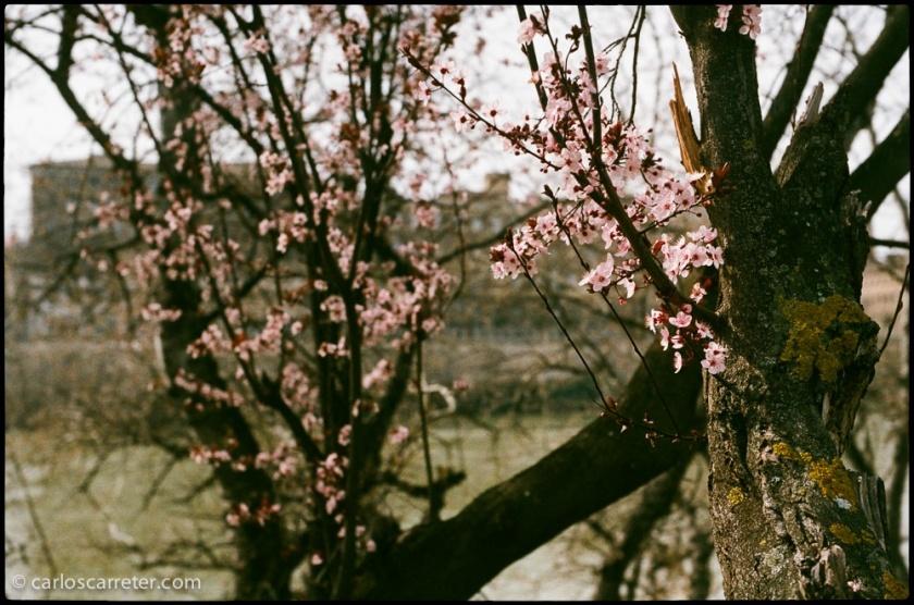 """No son los famosos """"sakuras"""", cerezos en flor, japoneses, pero son las primeras flores que anuncian la primavera, a orillas del Ebro a su paso por Zaragoza."""