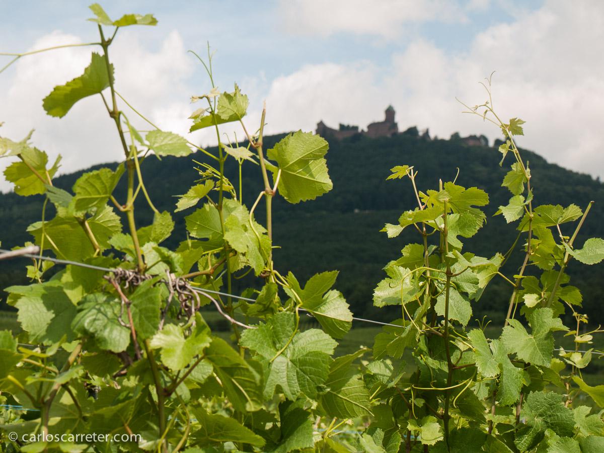 Entre los viñedos alsacianos, la fortaleza de Haut-Koenigsbourg, uno de los puestos de frontera tradicionales entre el imperio germánico y Francia.