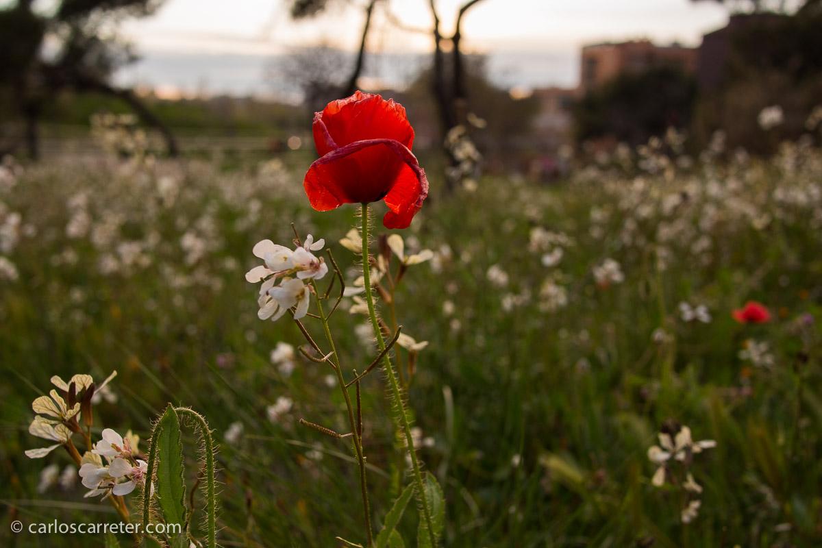Todos las entradas, en estos más de ocho años, al menos una fotografía hecha por mí en cada entrada. Os regalo unas flores. De los alrededores del Canal Imperial de Aragón, no lejos de mi casa.