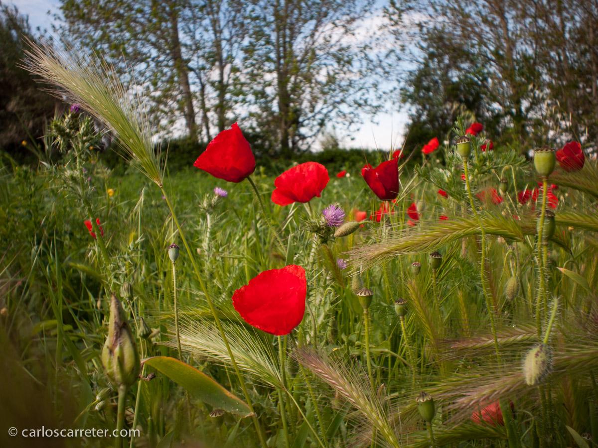 Abril - Llega la primavera, y los ababoles reinan en los campos próximos al soto de Cantalobos, aunque la mañana es fría.