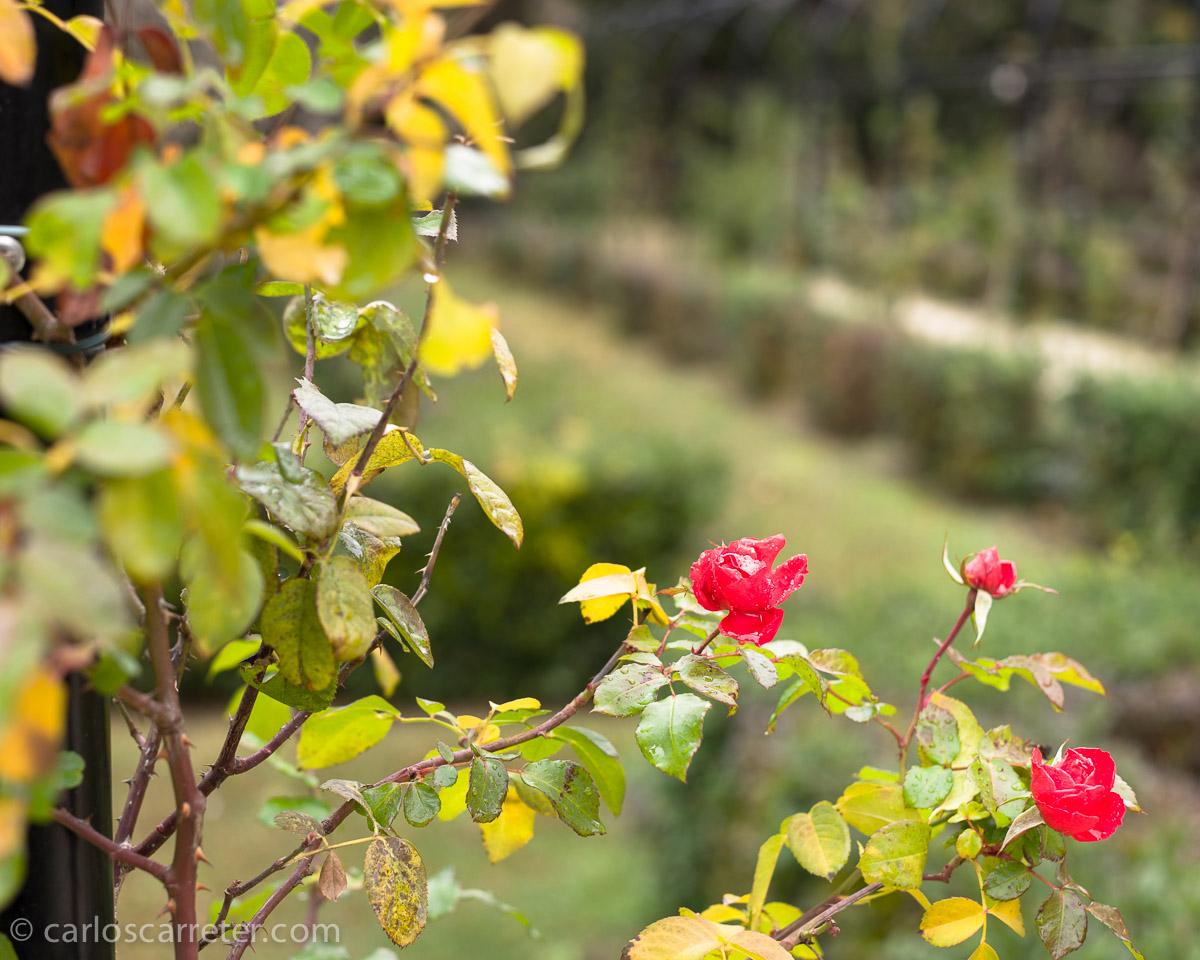 Incluso unos pequeños capullos asomaban en la solitaria rosaleda.
