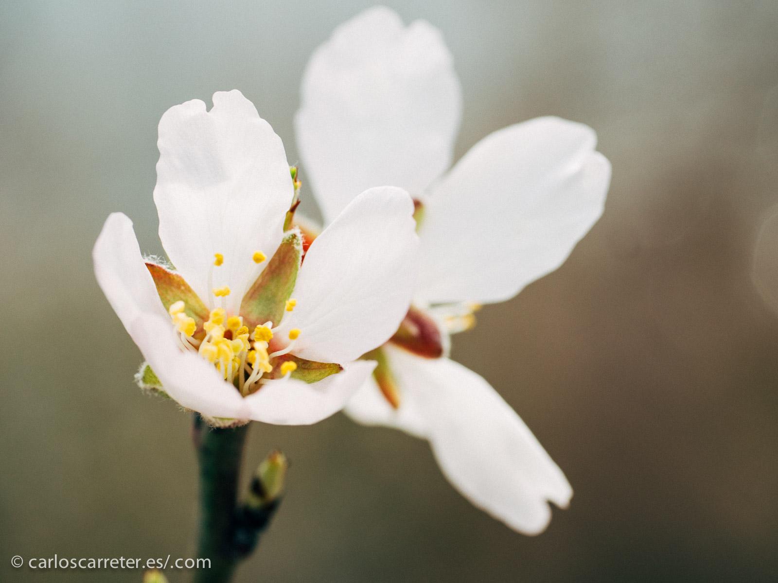Incluso hemos usado los objetivos macro para fotografíar algunas de las flores. No en vano, llevamos ya unos días esta semana en los que las temperaturas diurnas están alcanzando ya los 15 ºC.