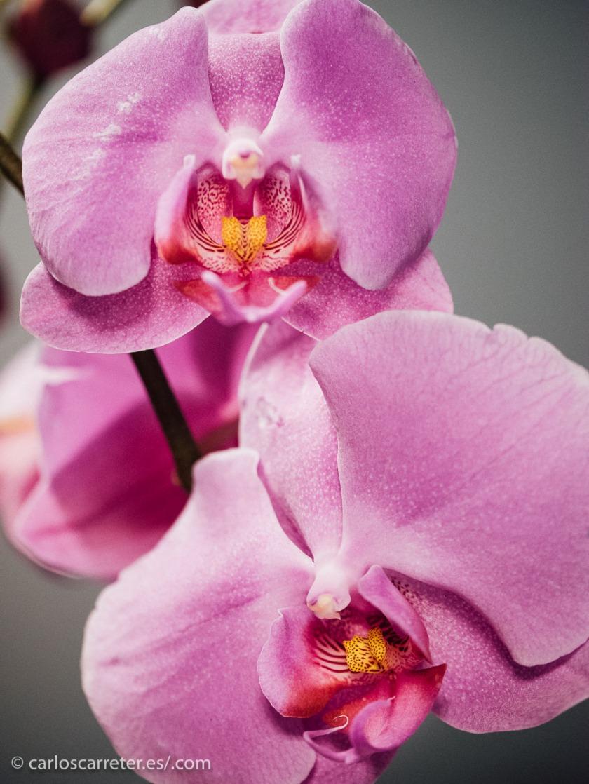A ver si la belleza de estas orquídeas, captada en el inopinado entorno laboral en el que me muevo, me calma un poco.