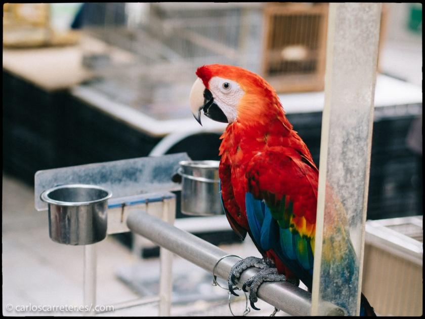 Si os preguntáis el porqué de estas fotografías de los psitaciformes del Jardín de los Pájaros de la calle Yuen Po en Hong Kong, tendréis que leer uno de los relatos que os comento hoy.
