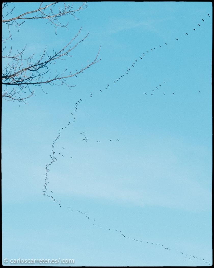 Ayer estuve fotografiando buena parte de la tarde, aprovechando el buen tiempo. En unas choperas de plantación cerca de Alagón. Y por cierto que tuve ocasión de admirar el paso migratorio de las grullas, si necesidad de ir a Gallocanta donde muchos aficionados a la fotografía de naturaleza se habrán reunido estos días.