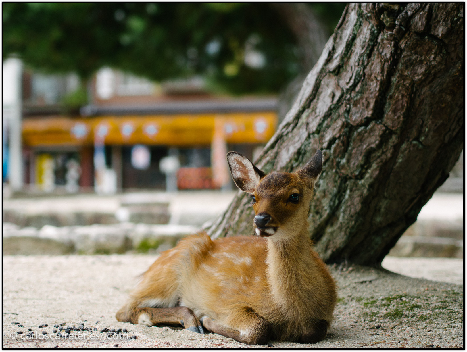 ciervos-sagrados---miyajima_15251330448_o.jpg