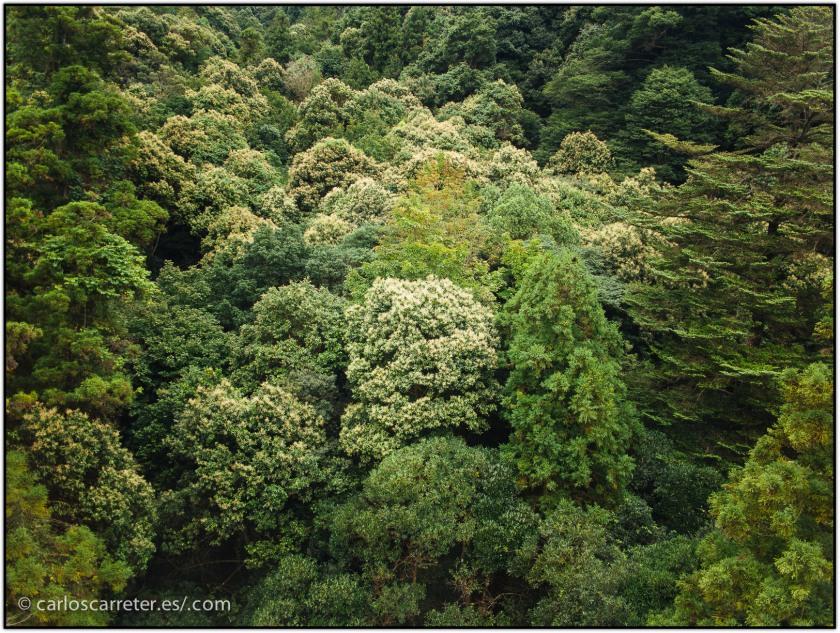 en-el-bosque-primario-del-monte-misen---miyajima_15775465832_o.jpg